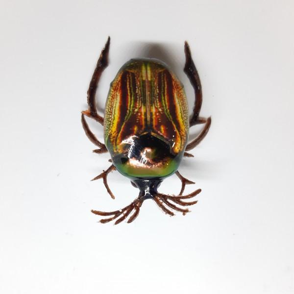 Майский жук BG-03